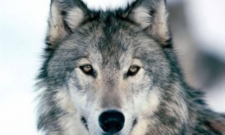 Κατέβηκαν οι λύκοι από τα βουνά