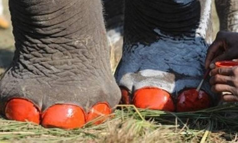 Πεντικιούρ για… ελέφαντες!
