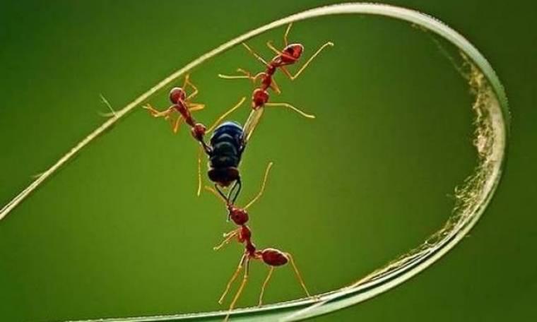 Τρία μυρμήγκια σκοτώνουν μια μύγα