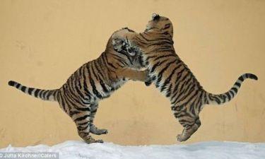Όταν οι τίγρεις χορεύουν στον πάγο