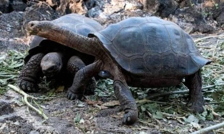 Οι τεράστιες χελώνες των Γκαλαπάγκος