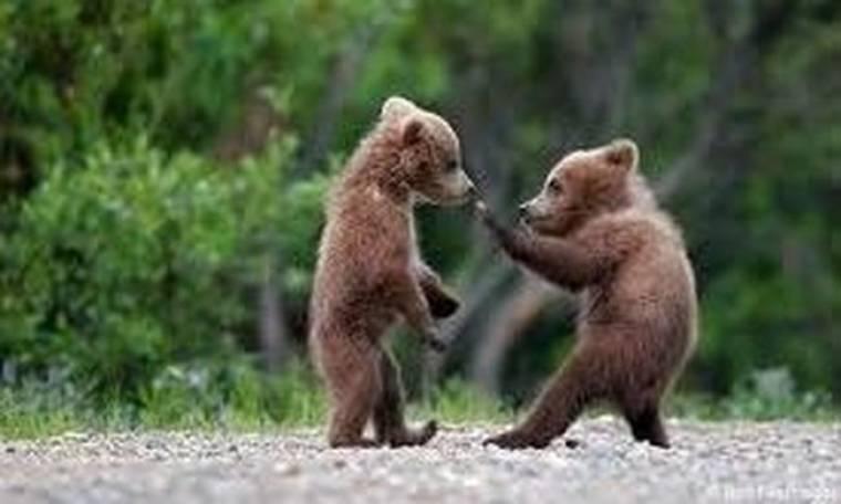 ΣΟΚ: Δύο – ακόμη – αρκούδες θύματα των τροχών!