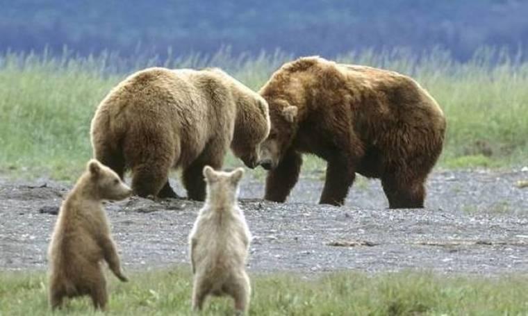 Δείτε αξιολάτρευτα αρκουδάκια να παίζουν με τους γονείς τους!