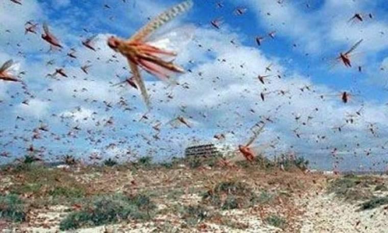 Επιδρομή ακρίδων στη Λέσβο!