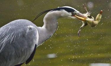 Ένα πεινασμένο πουλί προσπαθεί να φάει το άλλο