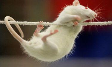 Το νησί Γκοφ γέμισε ποντίκια-γίγαντες!