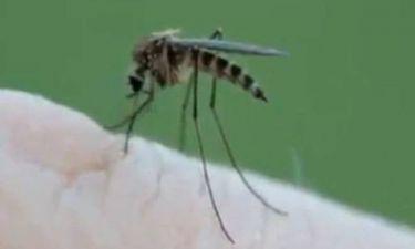 Βίντεο: Δείτε πως ρουφάει ένα κουνούπι το αίμα σας