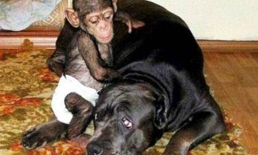 Σκύλος υιοθέτησε έναν ορφανό χιμπατζή