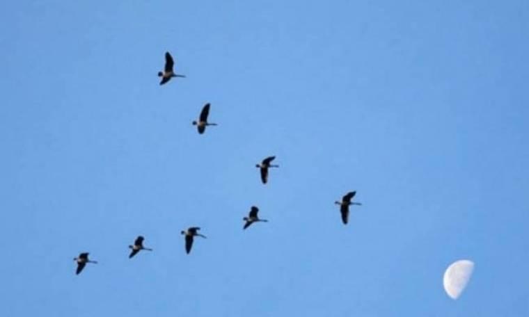 Γιατί τα πουλιά πετούν σε σχηματισμό V;