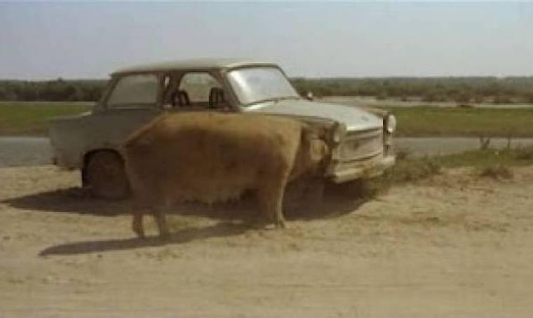 Δείτε ένα γουρούνι να... τρώει αυτοκίνητο