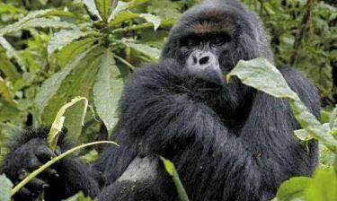 Γορίλλας κρεμάστηκε κατά λάθος σε ζωολογικό κήπο