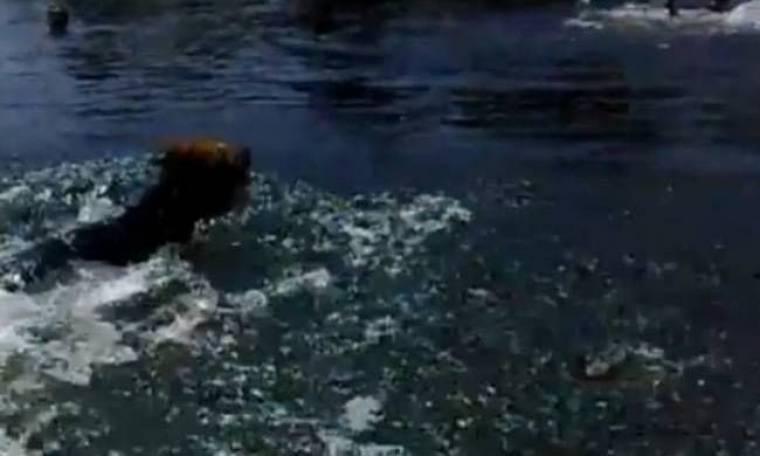 Εκπληκτικό βίντεο: Ναυαγοσώστης σκύλος...