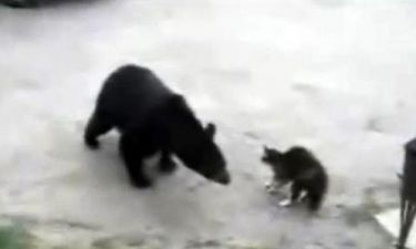 Θαρραλέα γάτα προστάτεψε μαμά και μωρό από αρκούδα!