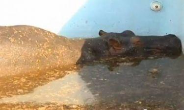 Ιπποπόταμος πέθανε κατά τη διάρκεια απεγκλωβισμού του από πισίνα