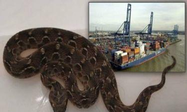Το πιο θανατηφόρο φίδι στον κόσμο ταξίδεψε από την Ινδία... με πλοίο!