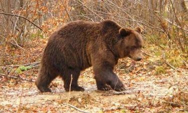 Πασίγνωστος Έλληνας βρέθηκε αντιμέτωπος με αρκούδα!