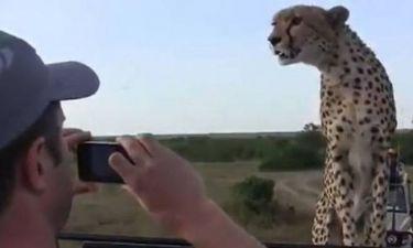 Βίντεο από σαφάρι στην Κένυα: Τσιτάχ ακινητοποίησε τουρίστες!