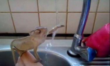 Εκπληκτικό βίντεο: Χαμελέοντας πλένει τα... χέρια του!