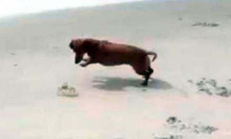 Εκπληκτικό: Δείτε τη... μάχη ενός σκύλου και ενός κάβουρα (video)