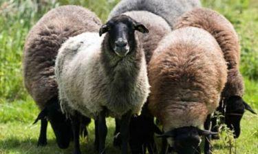 Τα πρόβατα βόσκησαν... χασίς!