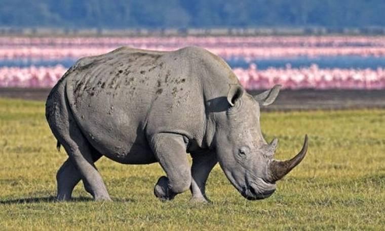 Σπάνιοι ρινόκεροι υπό την προστασία οπλισμένων φυλάκων