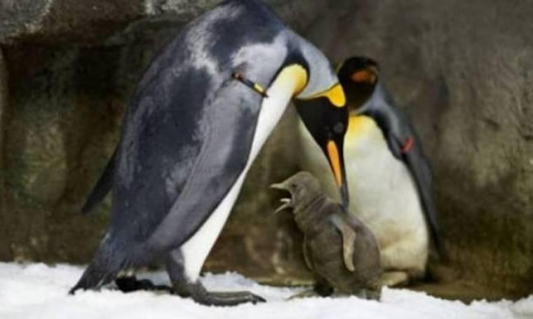 Gay πιγκουίνοι έγιναν γονείς