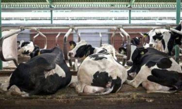 Δε φοβούνται πια τη νόσο των «τρελών αγελάδων»