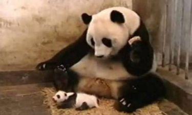 To panda φτερνίστηκε και κατατρόμαξε τη μαμά του! (video)