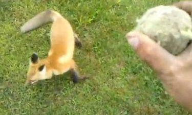 Βίντεο: Αλεπού-κατοικίδιο φέρνει το μπαλάκι!