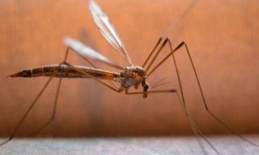 Εντυπωσιακό: Δείτε το στόμα του κουνουπιού σε μεγέθυνση!