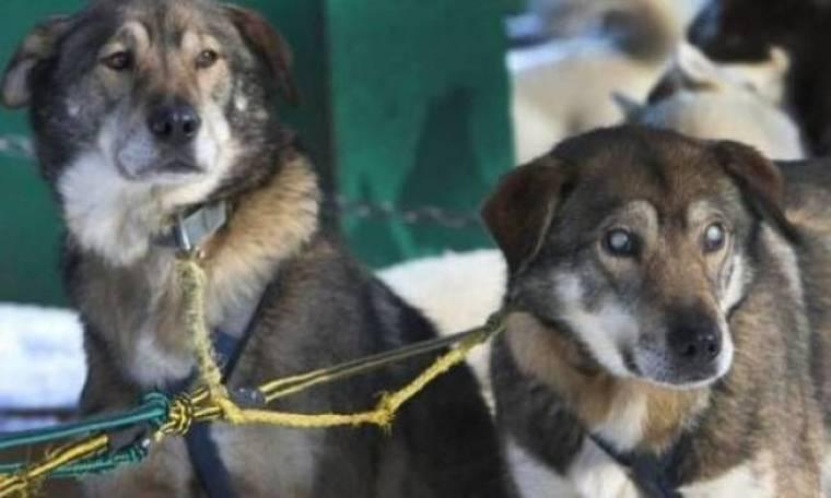 Παγκόσμια συγκίνηση: Τυφλός σκύλος οδηγεί τουριστικά έλκηθρα!