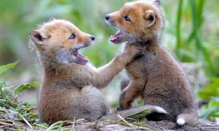 Δείτε την αλεπουδίτσα να παίζει με την μητέρα της!