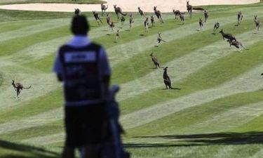 Γκολφ: Καγκουρό εισέβαλαν σε αγώνα (video)