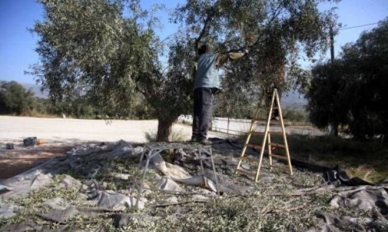 Κρήτη: Έπαθε ΣΟΚ με αυτό που είδε καθώς κλάδευε τις ελιές