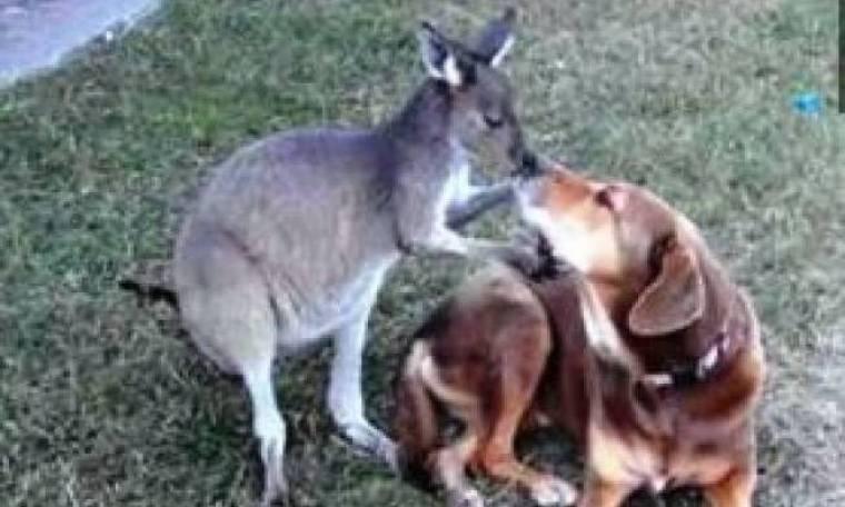 Mια ξεχωριστή φιλία μεταξύ...σκύλου και καγκουρό!