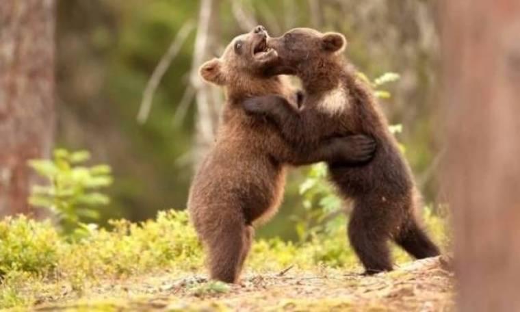 Αρκούδες πιάστηκαν στα... χέρια!