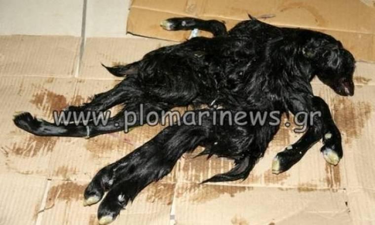 Λέσβος: Γεννήθηκε κατσικάκι με οχτώ πόδια (pics)
