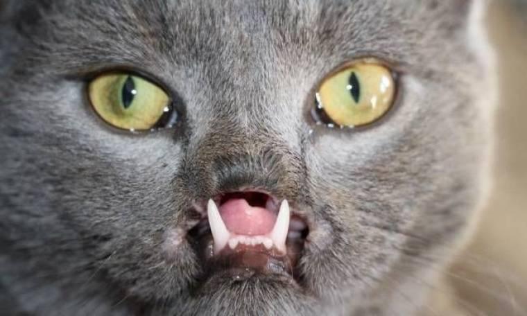Απίστευτο: Δείτε τη γάτα... βρυκόλακα! (pics)