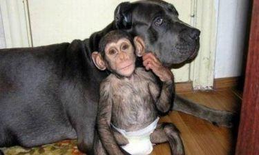 Συγκλονιστικό: Σκυλίτσα υιοθέτησε ορφανό χιμπατζή!