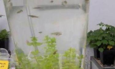 Ένα φυτό που εξαφανίζει τα κουνούπια