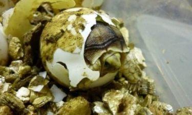 Χελωνάκια… σκάνε απ' το αυγό (pics)