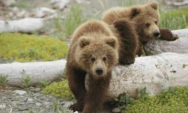 Αρκούδες κάνουν… τσάρκα στις πλατείες χωριών των Τρικάλων!