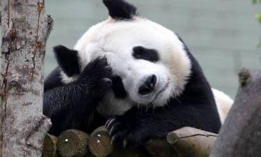 Αυτά είναι γεννητούρια: Έρχεται το μεγαλύτερο Panda του κόσμου!