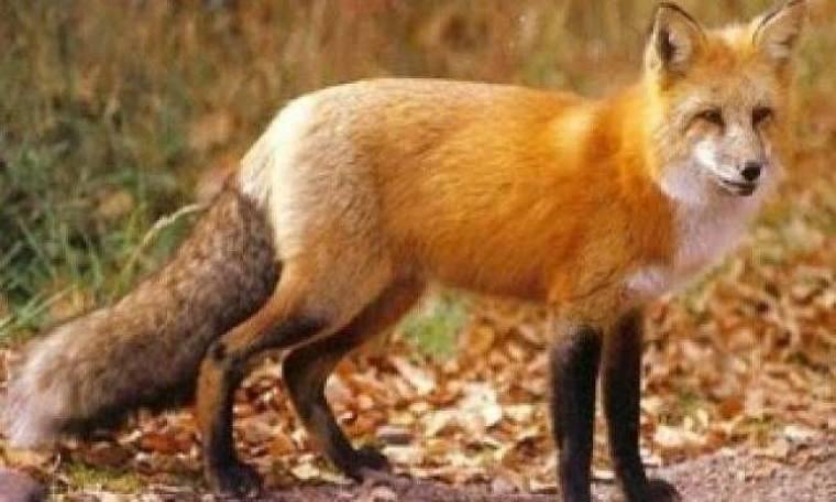 Κοιμήθηκε με τη γυναίκα του ξύπνησε με την αλεπού