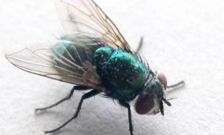 Ιδού γιατί η μύγα γλυτώνει πάντα τη μυγοσκοτώστρα!