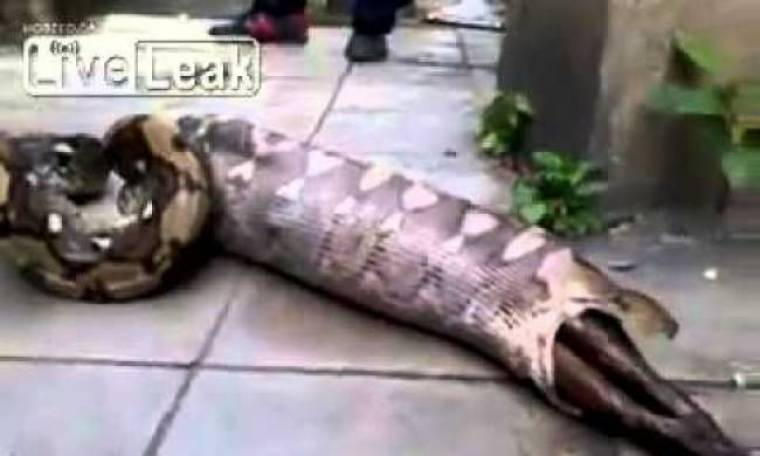 Βίντεο-ΣΟΚ: Πύθωνας βγάζει από μέσα του ολόκληρο... σκύλο!