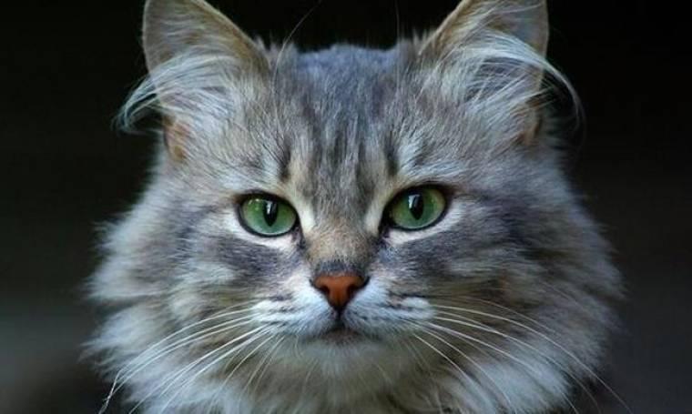 Κλειδί για το εμβόλιο κατά του AIDS η γάτα