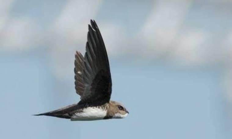 Απίστευτο: Πουλί περνάει έξι μήνες στον αέρα!