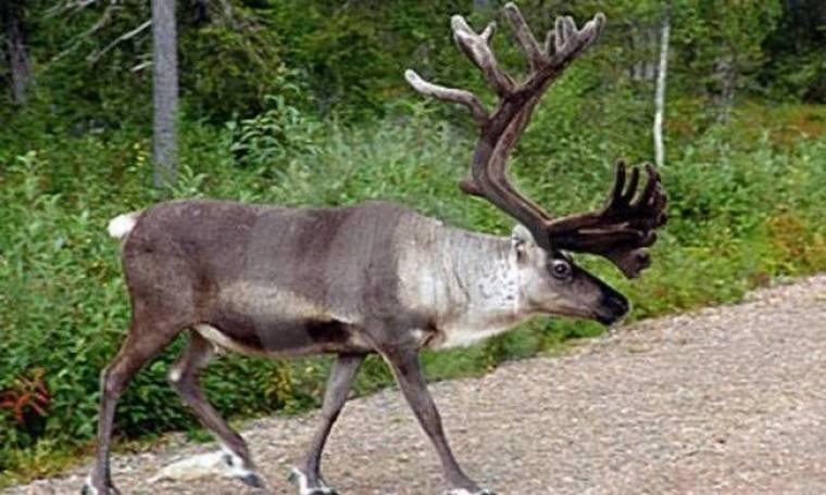 Νορβηγία:Κυνηγός πέρασε ηλικιωμένο για...τάρανδο