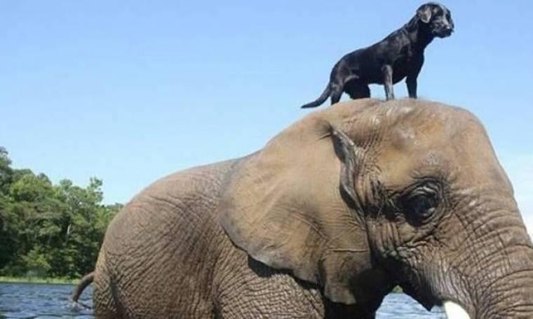 Σπάνια φιλία σκύλου και ελέφαντα (vid)